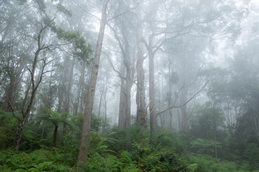 Ferns, forest and fog