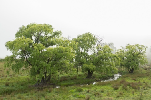 A typical Australian country scene, with willows along the creek.