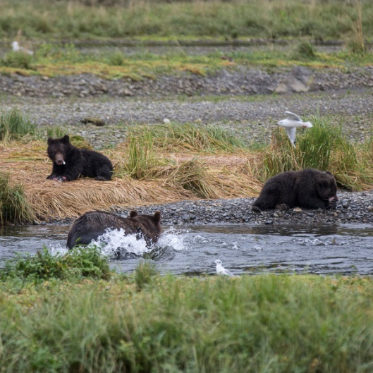 Mother bear fishing while the cubs watch and wait for dinner. They were just so cute.