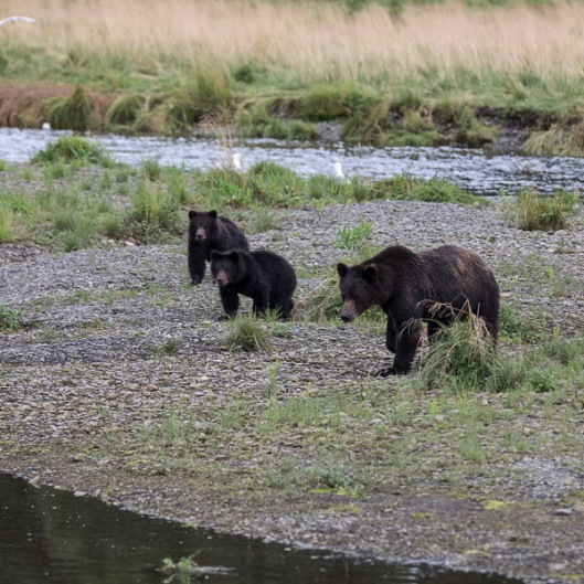 We spent the day at Pack Creek and were fortunate to see this mother bear and two cubs. A couple more shots below.